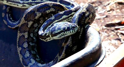 Carpet_Snake_-Web